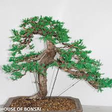 prostrada juniper moyogi style specimen bonsai tree u2013 house of bonsai