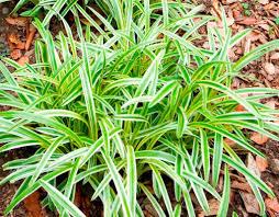 monkey grass seed liriope muscari ornamental grass seeds shade p