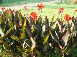 Canna Lilies Canna Lilies By Seflagamma Photo Weather Underground