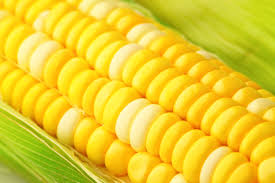 us scientists engineer corn to boost protein