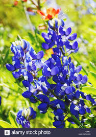 Bluebonnet Flowers - close up of bluebonnet flowers stock photo royalty free image