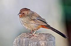 California Backyard Birds by Common Feeder Birds