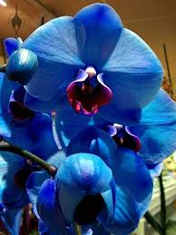 blue orchids for sale aboutorchids archive blue moth orchids