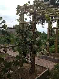 finishing the grape arbor