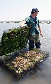 73 best oyster farming images on pinterest oysters farming and