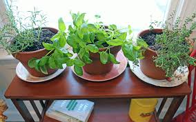 herbs indoors pronouncing plant names and growing herbs indoors plantrama com