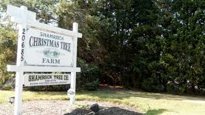 shamrock christmas tree farm newsday