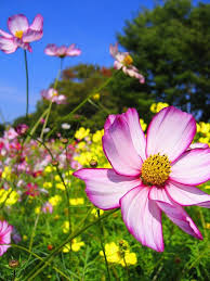 Nice Flower Picture - 55 best cosmos images on pinterest cosmos flowers flowers and