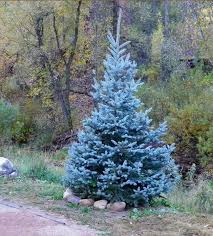 blue spruce trees christmas trees blue spruce search gardening landscape