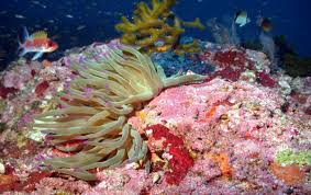 giant caribbean sea anemone oceana