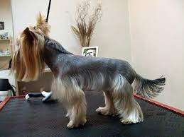types of yorkie haircuts explore yorkie haircuts pictures and select the best style for