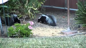 skunks eating bird seed mov youtube