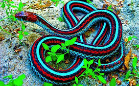 black king cobra snake wallpaper the best cobra of 2017