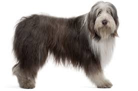 bearded collie x terrier bearded collie