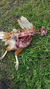what is killing my hens warning graphic image backyard