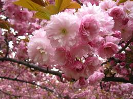 cherry blossom flowers eight things you probably don t about flowering cherry trees