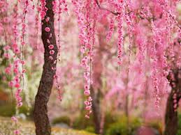 trees with pink flowers beautiful pink flowers bloom trees wallpaper flowers