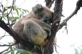podcast 76 u2013 australia u0027s koalas