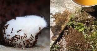 fourmis cuisine une astuce géniale pour se débarrasser des fourmis dans votre maison