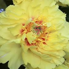 yellow peonies paeonia garden treasure itoh peony