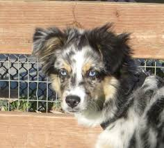 australian shepherd with blue eyes can you believe the things i have to put up with the dogs of