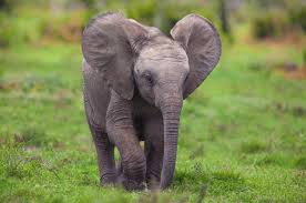 wonderful collection free baby elephant wallpaper hq definition