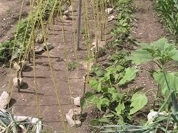finished setup of bean trellis eric u0027s organic gardening blog