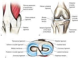 Lateral Patellar Ligament Kinetic Anatomy 3e Many Ligaments Make Up Knee U0027s Structure