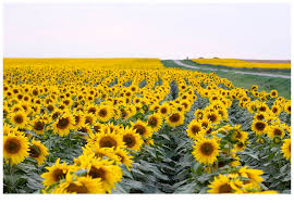 North Dakota how fast do radio waves travel images North dakota sunflowers have seen these fields from the highway jpg