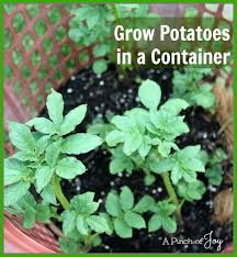 Container Gardening Potatoes - grow potatoes in a container apinchofjoy jpg
