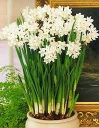 paperwhite flowers paperwhites smell so and i just to something alive