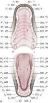 Dog Tooth Anatomy The Digestive Apparatus And Abdomen Veterian Key