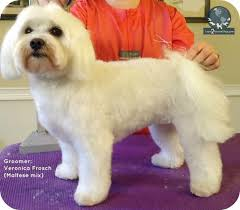 how to cut a shichon s hair i want a puppy cut be a better groomer