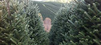 wholesale christmas trees christmas tree farm