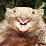 Wombat Memes - happy wombat meme generator imgflip