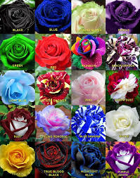 roses colors multi color roses home design multicolor bouquet meaning bushes