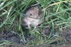 How To Get Rid Of Moles In The Backyard by How To Identify Underground Yard Pests Home Guides Sf Gate