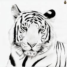 snow tiger coloring page realistic white tiger drawing clipartxtras