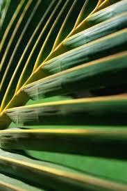palms for palm sunday purchase 62 best palm sunday images on palm sunday jesus