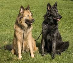belgian malinois brindle dutch shepherd dog breed information and pictures
