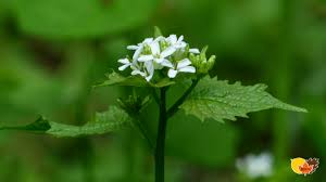 plants native to wisconsin a major threat to wisconsin u0027s forests