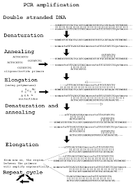 dna replication diagram dna free image about wiring diagram