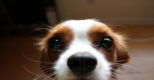 Why Do Dogs Lick The Sofa Why Does My Dog Do That A Closer Look At Canine Quirks Certapet