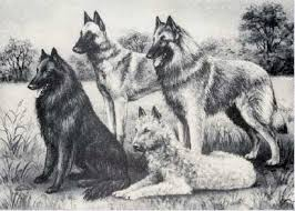 belgian sheepdog breeders in ohio events belgian sheepdog club of america