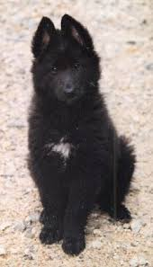 belgian sheepdog groenendael breeder available puppies u0026 adults