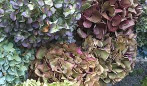 Dried Hydrangeas Naturally I Dry My Hydrangeas Marjennings Com