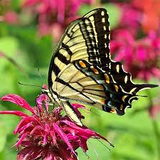 image result for eastern tiger swallowtail butterfly bruno