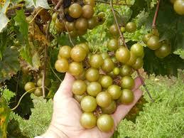 magnolia muscadine ison u0027s nursery u0026 vineyard