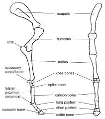 Knee Bony Anatomy How Equine Forelimb Anatomy Plays Out With Conformation And Soundness