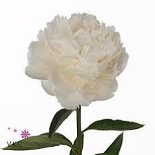 Wholesale Peonies 22 Best Triangle Nursery Wholesale Flowers Peonies Images On